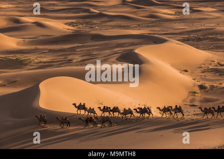 Flock of camels (Camelidae) walking through the vastness of sand dunes, Gobi desert, Mongolia - Stock Photo