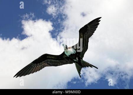 Magnificent frigatebird (Fregata magnificens) in flight, female, Moorea, society islands, Windward Islands, French Polynesia - Stock Photo