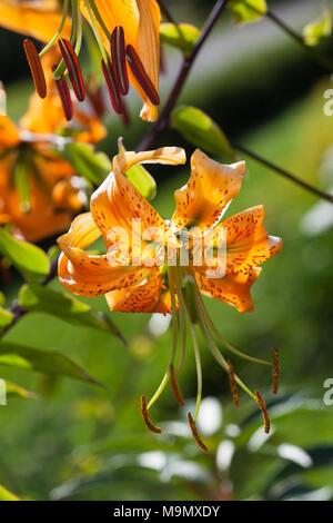 Henry's Lily, Orangelilja (Lilium henryi) - Stock Photo