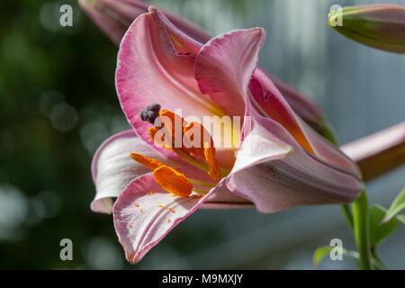 Trumpet Lily, Kungslilja (Lilium regale) - Stock Photo