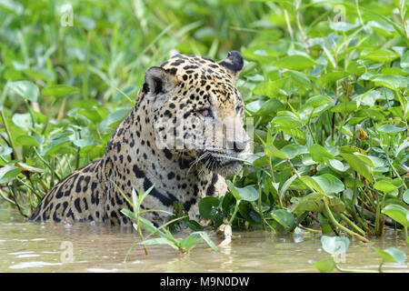 Jaguar (Panthera onca) hunting in water for cayman, Pantanal, Mato Grosso, Brazil - Stock Photo
