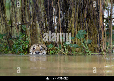 Jaguar (Panthera onca) hunting in water for cayman, looking at camera, Pantanal, Mato Grosso, Brazil - Stock Photo