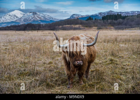 Highland cow in mountain landscape in Scotland - Stock Photo
