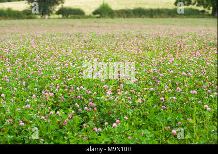 Clover growing in field at Glasbury Powys UK - Stock Photo