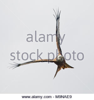 A Red Kite in flight above the hills of Dumfriesshire, Scotland.