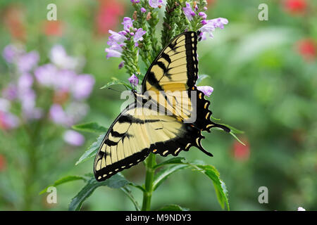 Male Eastern Tiger Swallowtail butterfly on flowers.  They are strong fliers, soaring high in trees. - Stock Photo