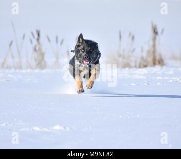 german shepherd playing in the snow - Stock Photo