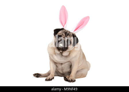 sweet cute pug puppy dog sitting down with easter bunny ears and teeth, isolated on white background - Stock Photo