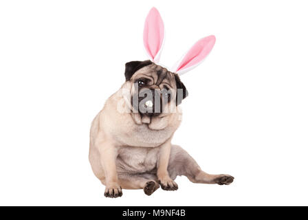 adorable cute pug puppy dog sitting down with easter bunny ears and teeth, isolated on white background - Stock Photo