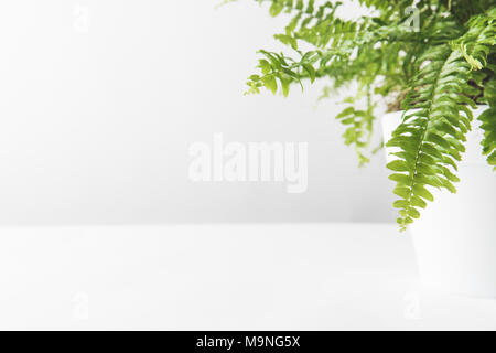 green leaves of beautiful potted fern on white  - Stock Photo