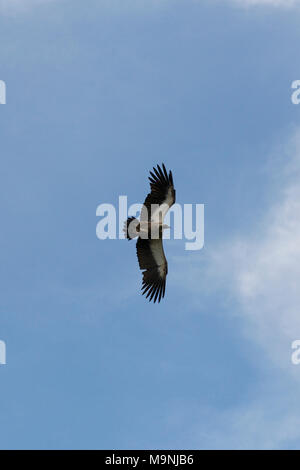 White Headed, Hooded, Lappet Faced, Cape, White-Backed Vultures and Marabou Storks circle and feed on a carcass in Zimbabwe National Park - Stock Photo