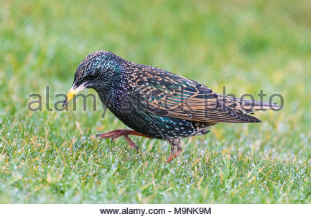Side view of a Common Starling (Sturnus vulgaris) walking on grass. Starling taking a step in Winter in West Sussex, England, UK. - Stock Photo