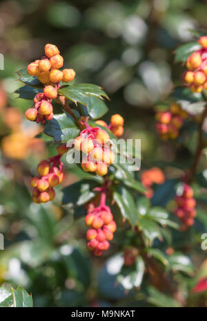 Darwin's Barberry bush (Berberis darwinii plant) showing leaves and orange red berries growing in Spring in West Sussex, England, UK. Closeup portrait. - Stock Photo