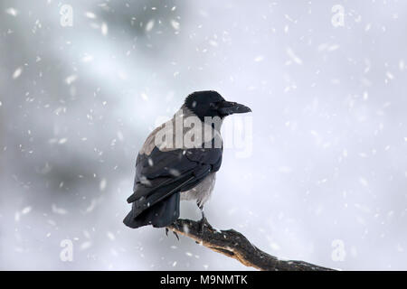 Hooded crow / hoodie (Corvus cornix) perched on branch in winter during snowfall - Stock Photo