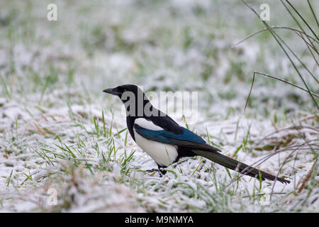 Eurasian magpie / common magpie (Pica pica) foraging in snow covered meadow in winter - Stock Photo