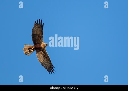 Western marsh harrier / Eurasian marsh harrier (Circus aeruginosus), female in flight against blue sky - Stock Photo