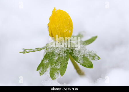 Winter aconite (Eranthis hyemalis) in flower in the snow in winter, native to  France, Italy and the Balkans - Stock Photo