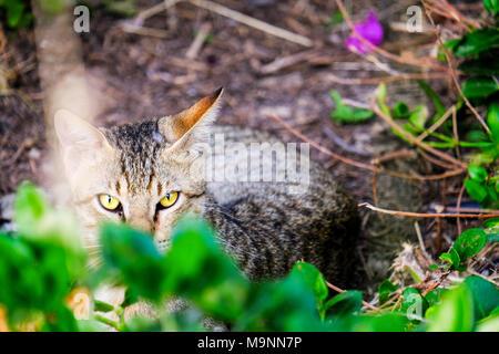 Domestic cat, house cat (Felis silvestris f. catus), Starring at photographer in back yard, Abu Dhbai - Stock Photo