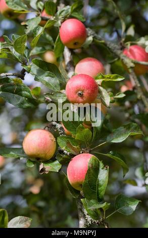 Malus 'Marshal Oyama' fruits on the tree. - Stock Photo