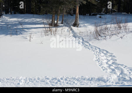 Tracks of Polar Bear and two cubs making way to sea ice from den - Stock Photo