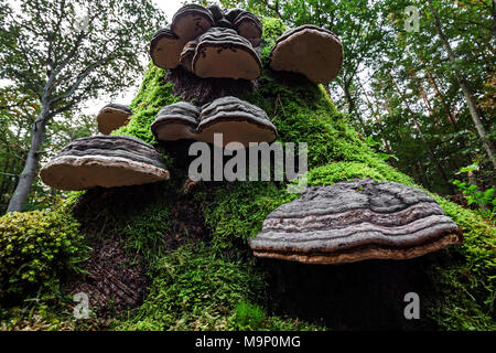 Tinder Funguses (Fomes fomentarius) grow on a dead, mossy tree stump, Darß Forest, Fischland-Darß-Zingst, Western Pomerania - Stock Photo