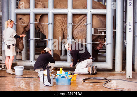 A veterinarian and his assistants work on a African elephant (Loxodonta africana) foot behind bars at the Elephant Care Senter at the San Diego Zoo, California. - Stock Photo