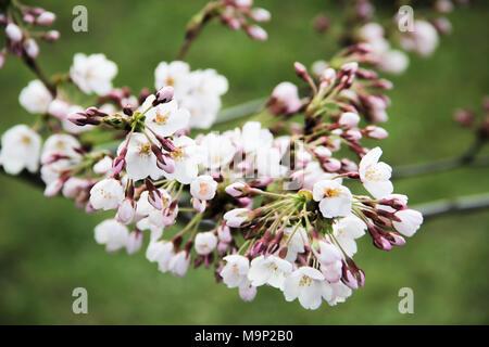 Japanese Cherry Blossom at Sakura Park in Vilnius Lithuania - Stock Photo