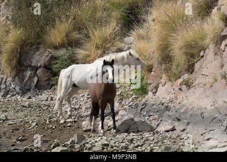 Wild Horses Along the Salt River in Arizona - Stock Photo