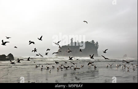 WA13948-00...WASHINGTON - Flock of seagulls standing in the incoming tide line at Ruby Beach in Olympic National Park. - Stock Photo