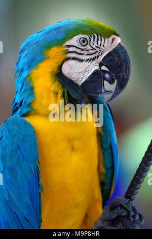 Blue and yellow macaw (Ara ararauna), animal portrait, captive, - Stock Photo