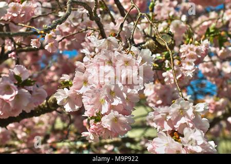 Pink flowering spring cherry Accolade, Prunus serrulata (prunus sargentii x subhirtella accolade), flowers in spring, Bavaria