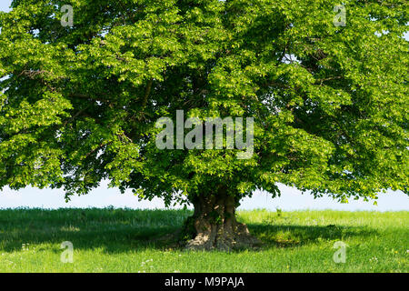 400 years old large-leaved linden (Tilia platyphyllos) in green meadow, solitary tree, Thuringia, Germany - Stock Photo