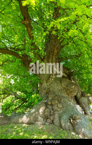 400 years old large-leaved linden (Tilia platyphyllos), with walled up void at the base, Thuringia, Germany - Stock Photo