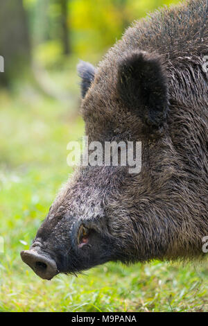 Wild boar (Sus scrofa), Boar, animal portrait, capive, Germany - Stock Photo