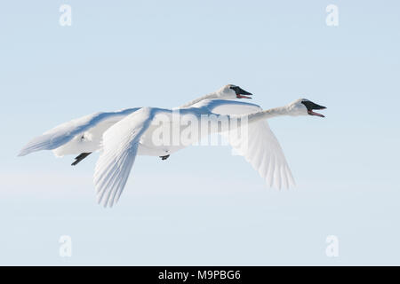 Trumpeter swans (Cygnus buccinator) flying, WI, USA, mid-February, by Dominique Braud/Dembinsky Photo Assoc, - Stock Photo