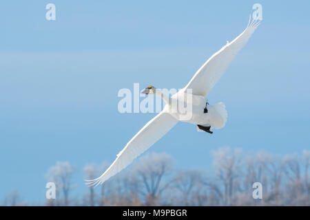 Trumpeter swan (Cygnus buccinator) landing on the frozen St. Croix River. WI, USA, January, by Dominique Braud/Dembinsky Photo Assoc - Stock Photo