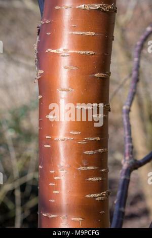 Chinese Red Panda birch tree trunk - Stock Photo