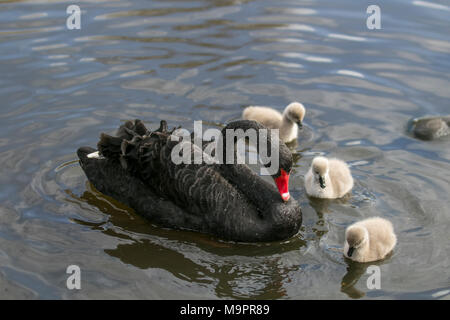 Tarlescough, Lancashire. 28th Mar, 2018. UK Weather: Spring is sprung as wildfowl ducklings hatch. Black swan swimming with cygnets. Credit: MediaWorldImages/Alamy Live News - Stock Photo