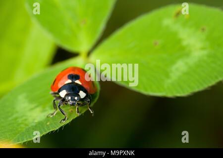 Seven-spott ladybird (Coccinella septempunctata) on cloverleaf, Tuscany, Italy - Stock Photo