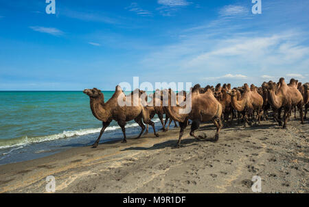Flock of camels (Camelus ferus) on the banks of Uvs Lake, Mongolia - Stock Photo