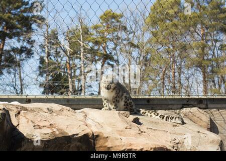 A snarling snow leopard in captivity. - Stock Photo