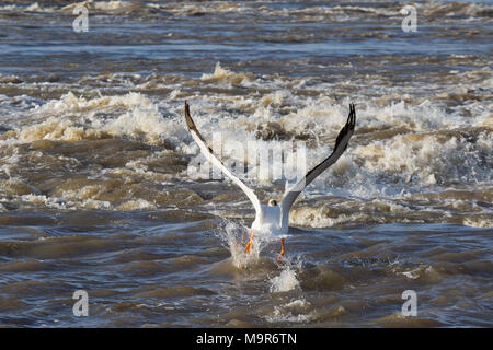 Great White Pelicans (Pelecanus onocrotalus) flying over to far North for mating at Slave River, Pelican Rapids, Ft. Smith, Northwest Territories, Can - Stock Photo