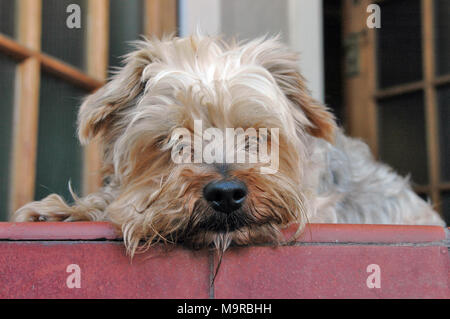 A yorkshire terrier dog lying down and resting  his head on a front door porch - Stock Photo
