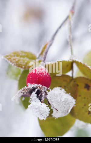 hawthorn brunches under the snow in the winter day - Stock Photo
