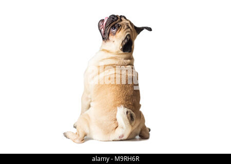 male pug dog isolated on white - Stock Photo