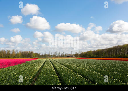 A colourful tulip field in a blue and cloudy sky near the village Lisse in the Netherlands. - Stock Photo