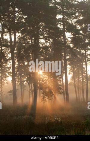 Dawn sunlight shining through Scots pines, Dorset UK - Stock Photo