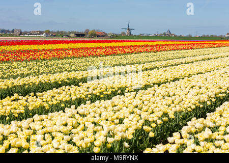 Fields with white, red and yellow tulips in the Netherlands. And the Lisserpoelmolen from 1676 - Stock Photo