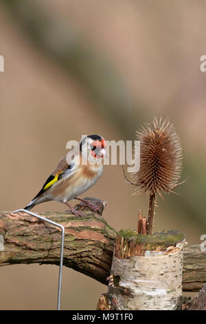 Adult male Goldfinch, Carduelis carduelis feeding at a teasel, England, UK. - Stock Photo