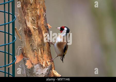 Adult male Goldfinch, Carduelis carduelis, England, UK. - Stock Photo